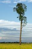 Baum auf dem Paddygebiet Lizenzfreie Stockfotografie