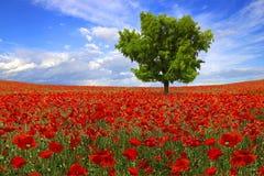 Baum auf der Mohnblumeplantage Lizenzfreies Stockbild