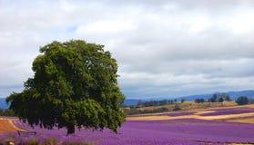 Baum auf einem Lavendelgebiet Stockfotos