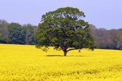 Baum auf einem Rapssamen-Gebiet Stockfoto