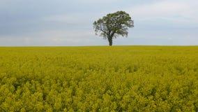 Baum auf einem Rapssamenfeld Lizenzfreies Stockfoto