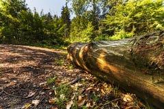 Baum auf einem Waldweg Lizenzfreies Stockfoto