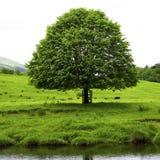 Baum auf Fluss Hodder Stockbild