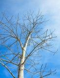 Baum auf Hintergrund des blauen Himmels Lizenzfreies Stockfoto