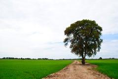 Baum auf Straße in einem Feldreis. Stockfotos