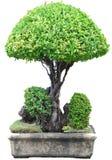 Baum auf weißem Hintergrund Stockfoto