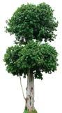Baum auf weißem Hintergrund Lizenzfreie Stockbilder