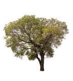Baum auf weißem Hintergrund Stockfotos