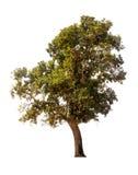 Baum auf weißem Hintergrund Lizenzfreie Stockfotos