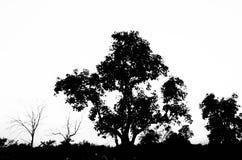 Baum auf weißem Hintergrund Stockbilder