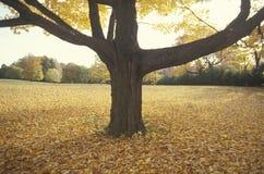 Baum in Autumn Surrounded durch Blätter, New-Jersey Stockfotografie