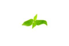 Baum Basil Leaves Lizenzfreie Stockfotografie