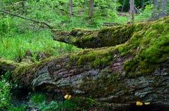 Baum bedeckt mit Moos stockbild
