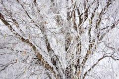 Baum bedeckt mit reifem lizenzfreies stockfoto