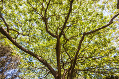 Baum-Bedeckung verzweigt sich Blätter Stockfotografie