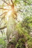 Baum belichtet durch Sonnenstrahlen durch Nebel am Morgen-Winter Lizenzfreie Stockbilder
