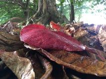 Baum-Blätter Terminalia Catappa auf Anini-Strand während des Regens auf Kauai-Insel, Hawaii lizenzfreies stockfoto