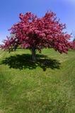 Baum blüht im Frühjahr Lizenzfreie Stockfotografie