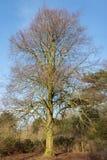 Baum bloß von den Blättern gegen einen blauen Himmel Lizenzfreie Stockfotos