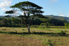 Baum in Bohol Stockbilder