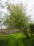 Baum in Crookham, Northumberland, Großbritannien Stockfoto