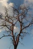 Baum Dalbergia cochinchinensis sterben im Himmel Lizenzfreie Stockbilder