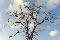Baum Dalbergia cochinchinensis sterben im Himmel Lizenzfreies Stockfoto