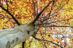 Baum in den Herbstfarben stockbild