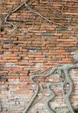 Baum in der alten Wand innerhalb des thailändischen Tempels der Weinlese Lizenzfreie Stockfotografie