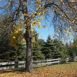 Baum der amerikanischen Buche in der Fallfarbe. Stockbild