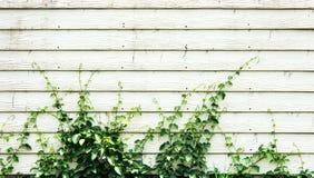 Baum, der auf Täfelungswand klettert Stockfotografie