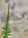 Baum, der auf Zementwandhintergrund klettert Lizenzfreie Stockfotografie