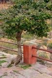 Baum, der aus Steinweg in Jaigarh-Fort heraus nahe Jaipur, Raja wächst Stockfoto