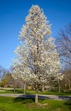 Baum in der Blüte Lizenzfreie Stockbilder