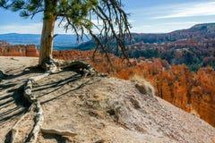 Baum, der dem Rand von Bryce Canyon anhaftet Stockfotografie