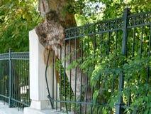 Baum, der durch die Geländer in Athen, Griechenland wächst stockbilder