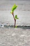 Baum, der durch Sprung in der Plasterung wächst Stockbild