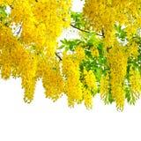 Baum der goldenen Dusche. Lizenzfreie Stockfotografie