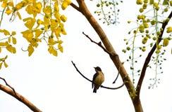 Baum der goldenen Dusche Lizenzfreies Stockfoto