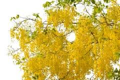 Baum der goldenen Dusche Lizenzfreies Stockbild