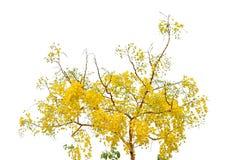 Baum der goldenen Dusche Lizenzfreie Stockfotografie