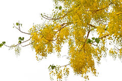 Baum der goldenen Dusche Stockbilder