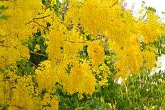 Baum der goldenen Dusche Stockbild