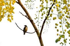 Baum der goldenen Dusche Stockfotos