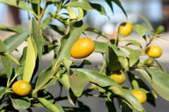 Baum der japanischen Orange Stockbilder