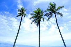 Baum der Kokosnuss drei Stockfoto