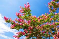 Baum der Kreppmyrte in voller Blüte gegen blauen Himmel Lizenzfreie Stockfotos