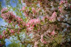 Baum, der mit den rosa und weißen Blumen blüht Stockbilder
