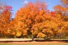 Baum, der mit Herbst-Farbe birst Stockfotos