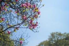 Baum, der mit rosa Blumen blüht Stockbild